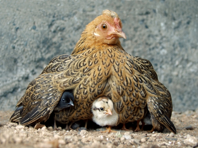 mother-with-baby-chicks